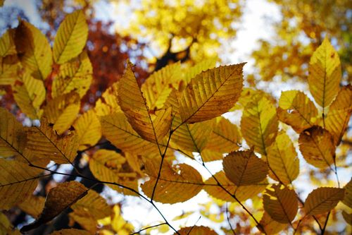 Beech_leaves_autumn